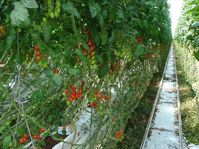 tomaten im gew chshaus tomaten und gurken im gew chshaus tomaten im garten pflanzen innenr ume. Black Bedroom Furniture Sets. Home Design Ideas